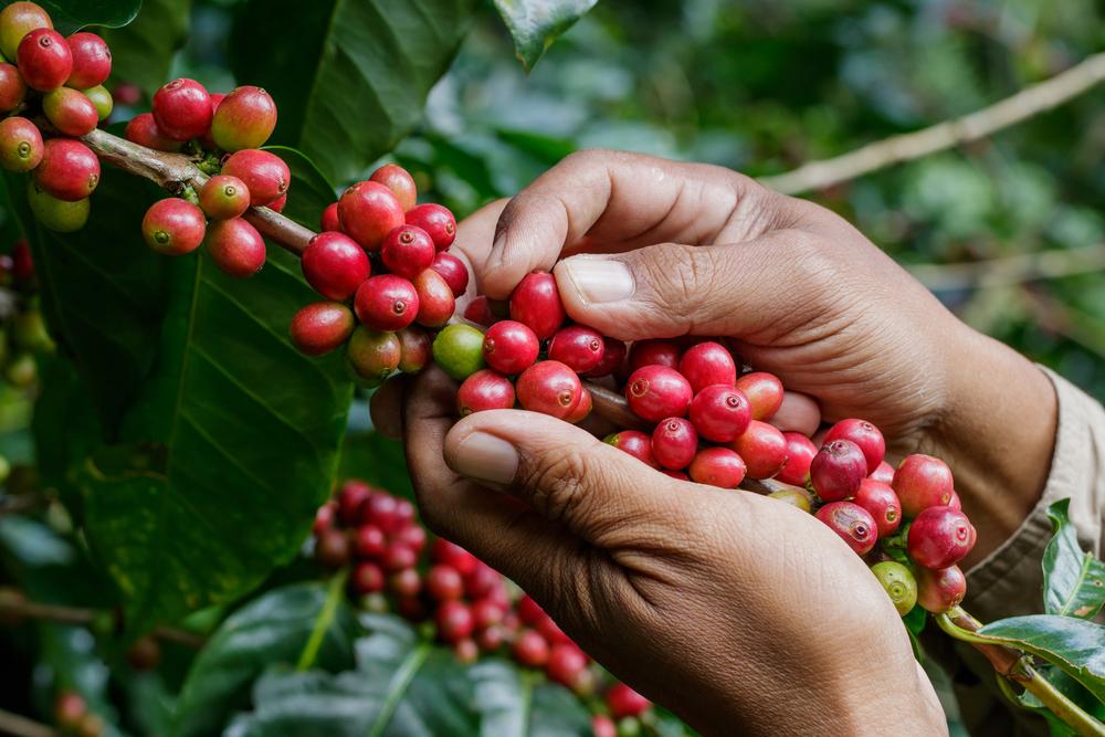 reife Kaffeekirschen werden per Hand gepflückt