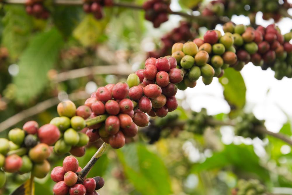 asynchroner Wachstumsverlauf der Kaffeepflanze